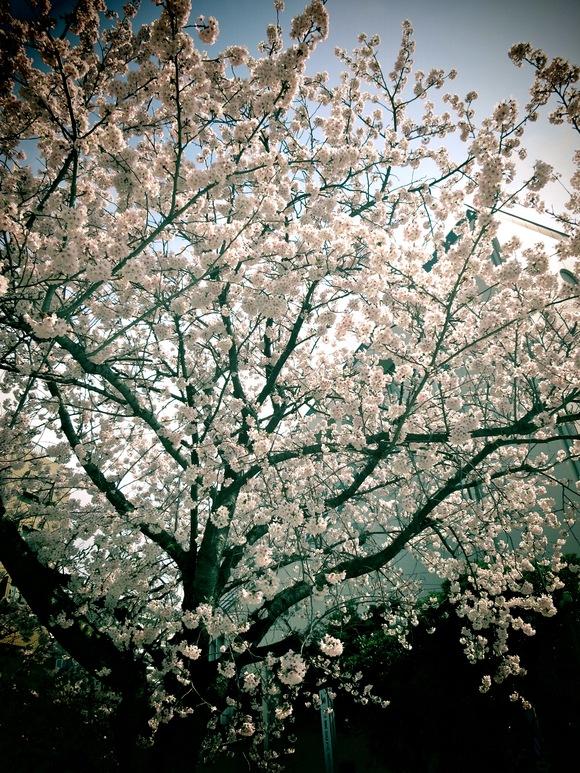 桜_d0157764_22204390.jpg