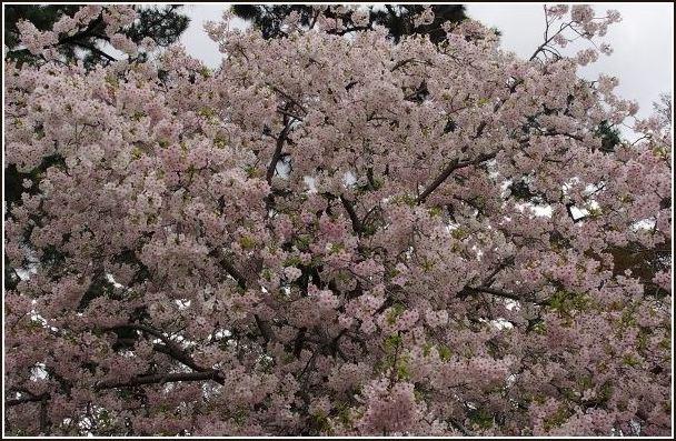 京桜_c0228386_7502246.jpg