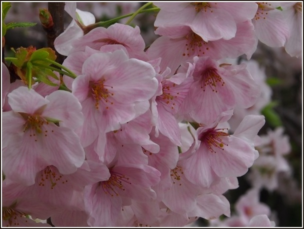 京桜_c0228386_7503092.jpg
