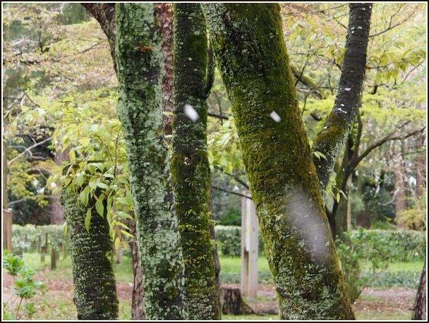 京桜_c0228386_7523480.jpg