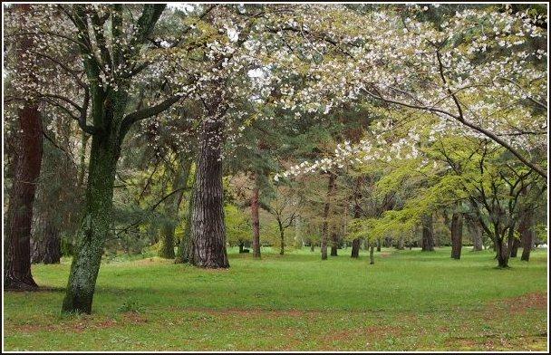 京桜_c0228386_756862.jpg