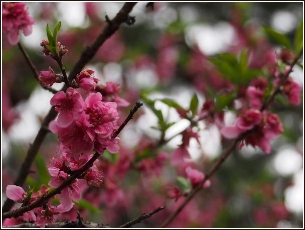 京桜_c0228386_811765.jpg