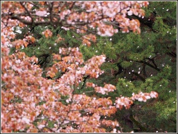 京桜_c0228386_815996.jpg