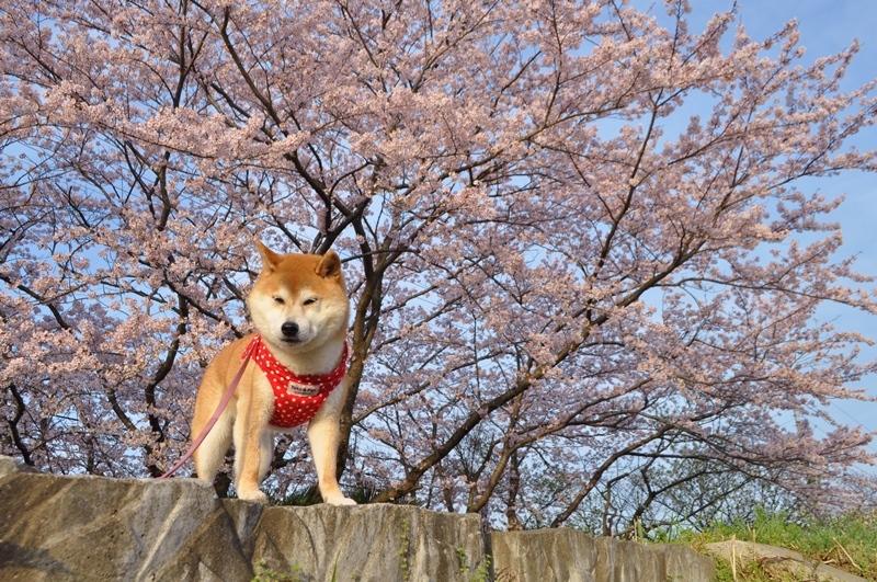 お花見散歩_a0126590_06524929.jpg