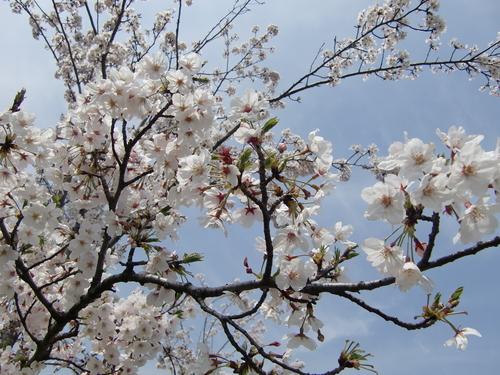 桜の季節になりました!_b0263390_14362150.jpg