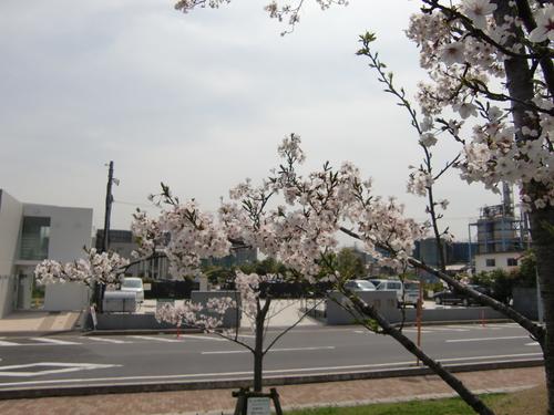 桜の季節になりました!_b0263390_14455241.jpg
