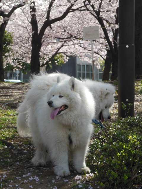 昨日の公園桜をバックに_b0120492_1733014.jpg