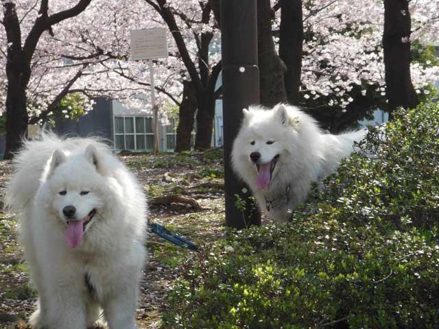 昨日の公園桜をバックに_b0120492_17342314.jpg