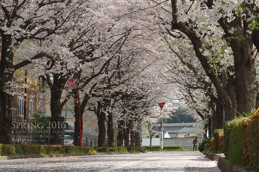 2016 a rain of cherry blossom_b0136403_01160688.jpg