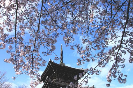 2016桜だより41 真如堂_e0048413_1815319.jpg