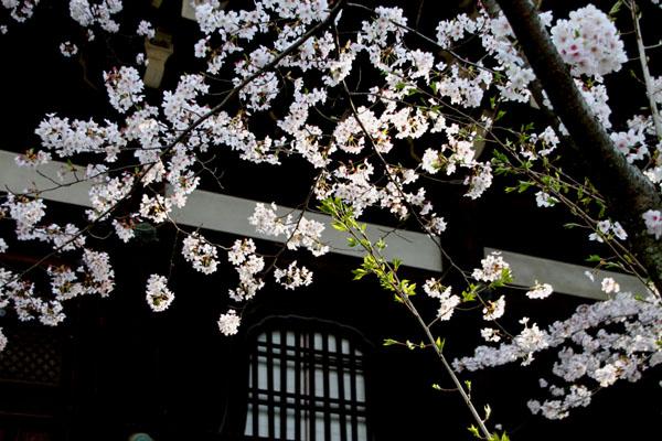 2016桜だより41 真如堂_e0048413_18171574.jpg