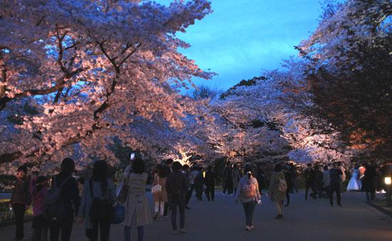 16さくら便り43 京都府立植物園ライトアップ_e0048413_20521910.jpg