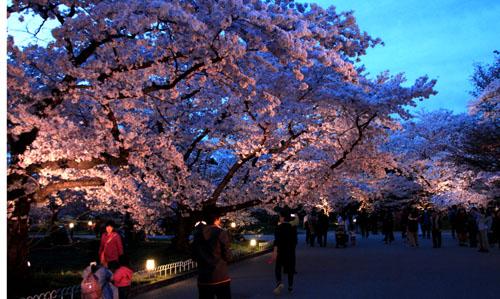 16さくら便り43 京都府立植物園ライトアップ_e0048413_2052347.jpg