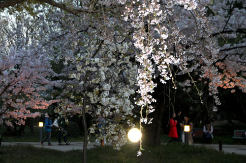 16さくら便り43 京都府立植物園ライトアップ_e0048413_20525572.jpg