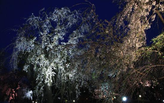 16さくら便り43 京都府立植物園ライトアップ_e0048413_20533089.jpg