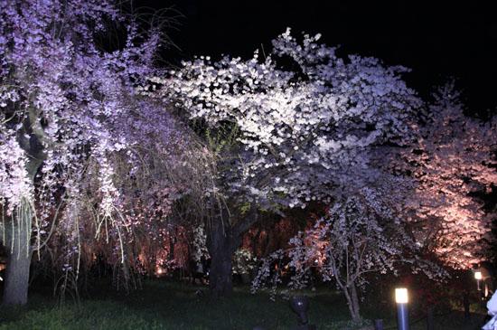 16さくら便り43 京都府立植物園ライトアップ_e0048413_20534163.jpg