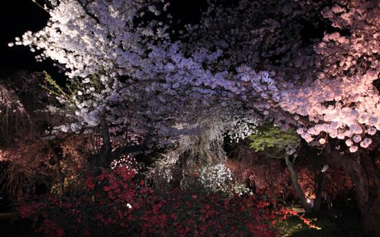 16さくら便り43 京都府立植物園ライトアップ_e0048413_20535029.jpg
