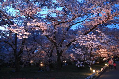 16さくら便り43 京都府立植物園ライトアップ_e0048413_2053560.jpg