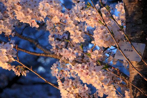 16さくら便り43 京都府立植物園ライトアップ_e0048413_20542086.jpg