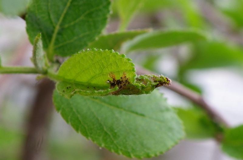 ウラゴマダラシジミ幼虫 4月8日_d0254540_18531890.jpg