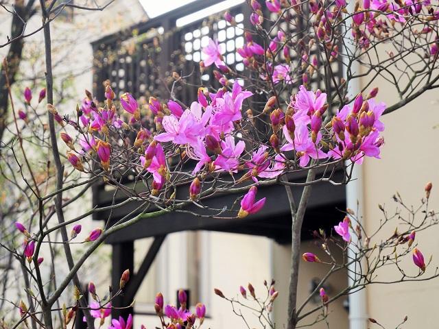 春のお花たちが次々咲いています_e0232798_9381746.jpg