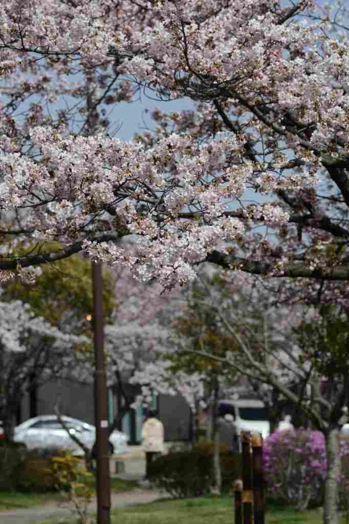 我が家の周りにもようやく桜が_a0148206_21214011.jpg