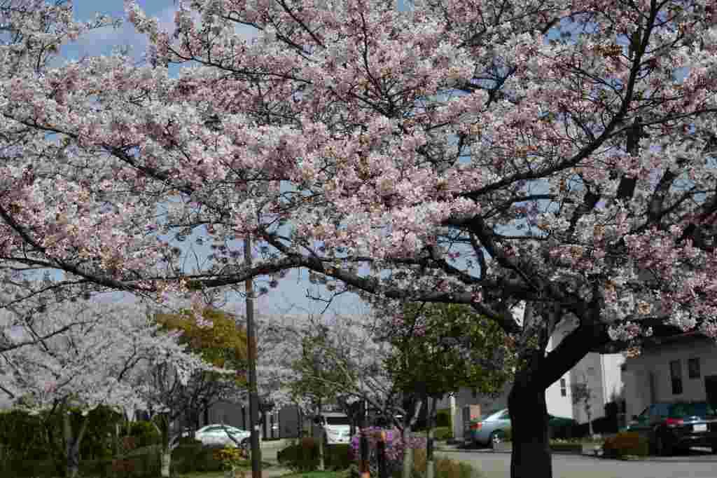 我が家の周りにもようやく桜が_a0148206_21214014.jpg