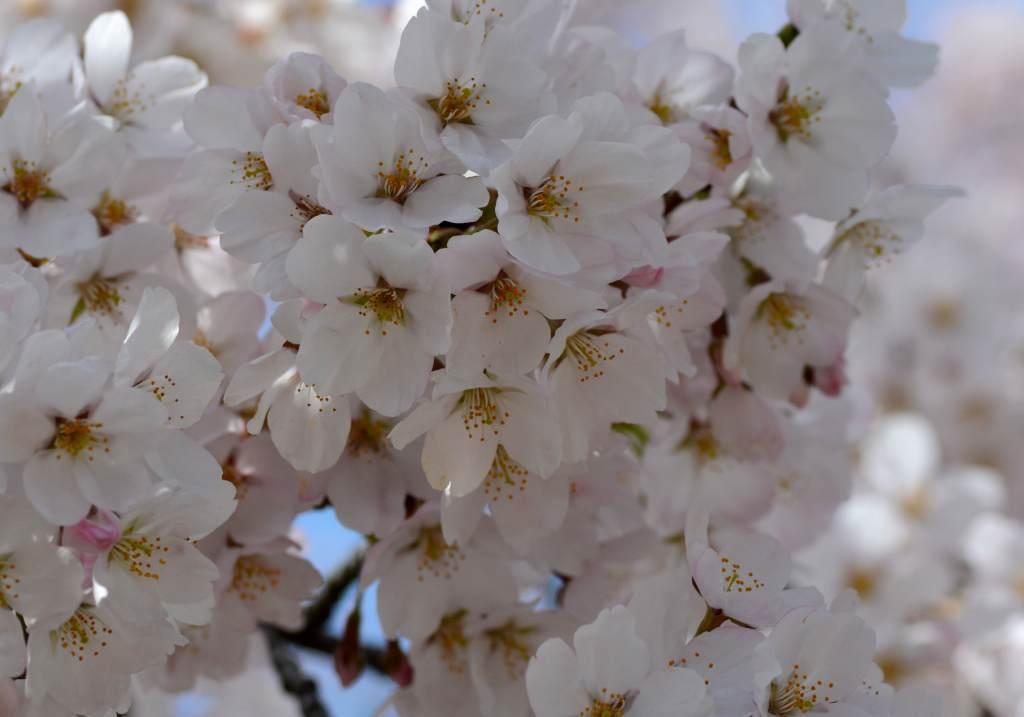 我が家の周りにもようやく桜が_a0148206_21214059.jpg