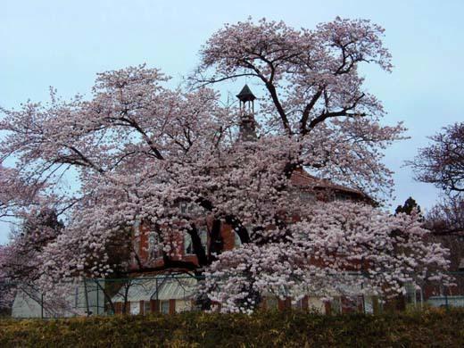 芸術村の桜_d0127634_11255487.jpg