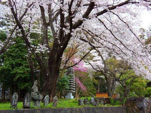 芸術村の桜_d0127634_11273648.jpg