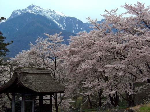 芸術村の桜_d0127634_11275377.jpg