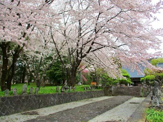 芸術村の桜_d0127634_11281623.jpg