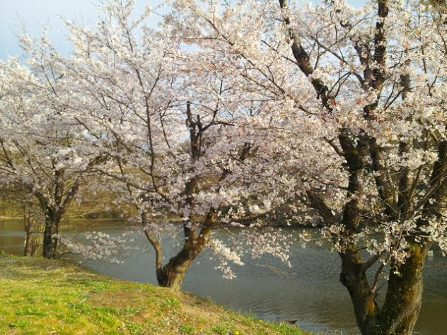 桜満開♪♪♪_f0244543_19554259.jpg