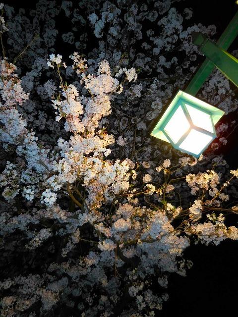 自宅前で夜 桜_c0327752_09031823.jpg