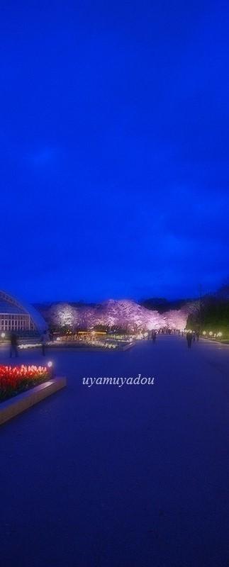 京都府立植物園 2016年夜桜_a0157263_18092732.jpg
