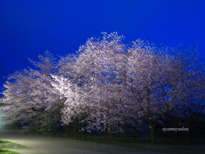 京都府立植物園 2016年夜桜_a0157263_18093102.jpg