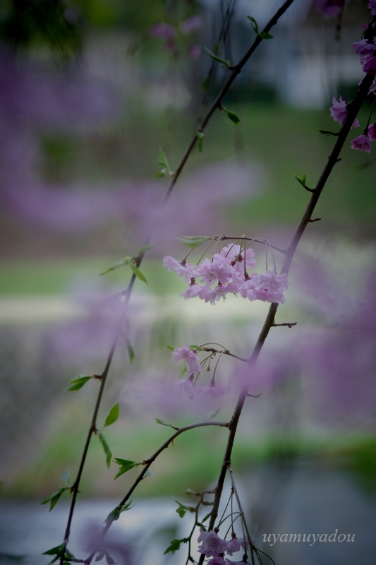 朝・・・半木の道_a0157263_23581204.jpg