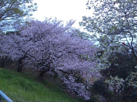 桜_b0273973_174343.jpg