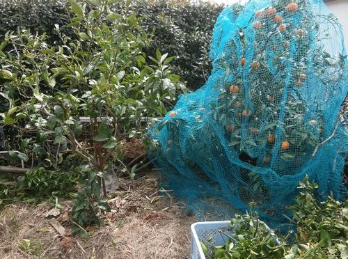 蜜柑の剪定とか防鳥ネットとか_f0018078_1702943.jpg