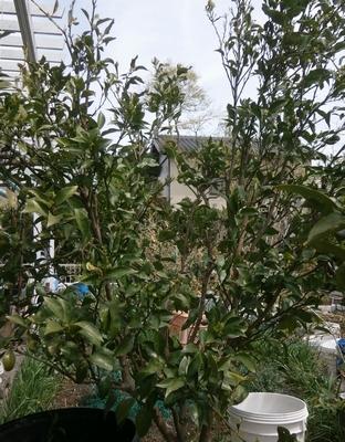蜜柑の剪定とか防鳥ネットとか_f0018078_1705062.jpg