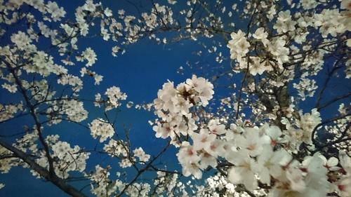 お花見_d0251191_135463.jpg