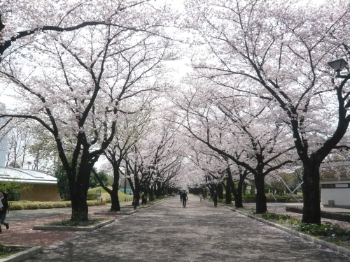 ポタリング 「桜」花見・東郷寺Ⅱ_a0262093_17132303.jpg