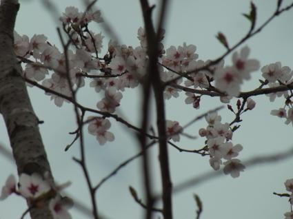桜も終わり…_f0108001_18314775.jpg