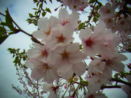 桜も終わり…_f0108001_18323313.jpg