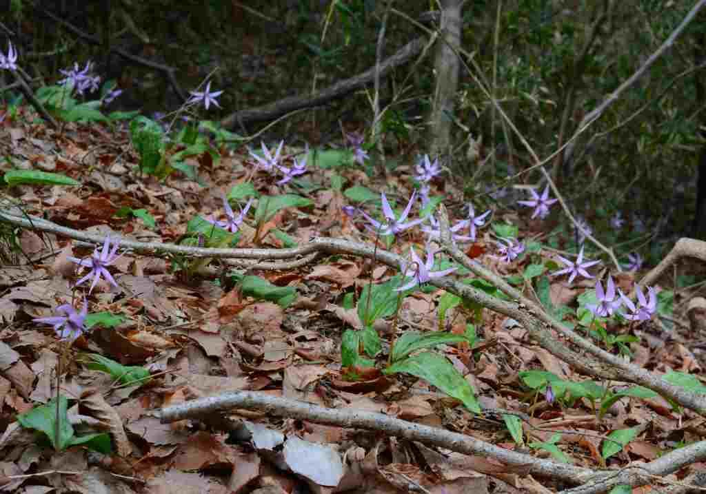 桜とカタクリの花はほぼ同時進行・・・_a0148206_18382933.jpg