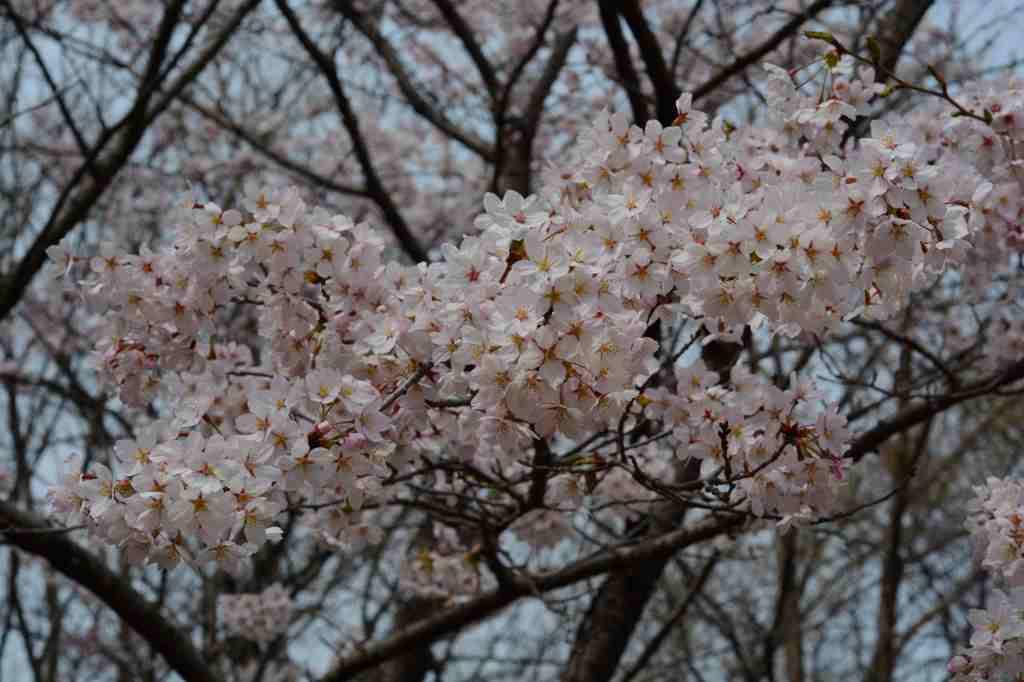桜とカタクリの花はほぼ同時進行・・・_a0148206_19522418.jpg