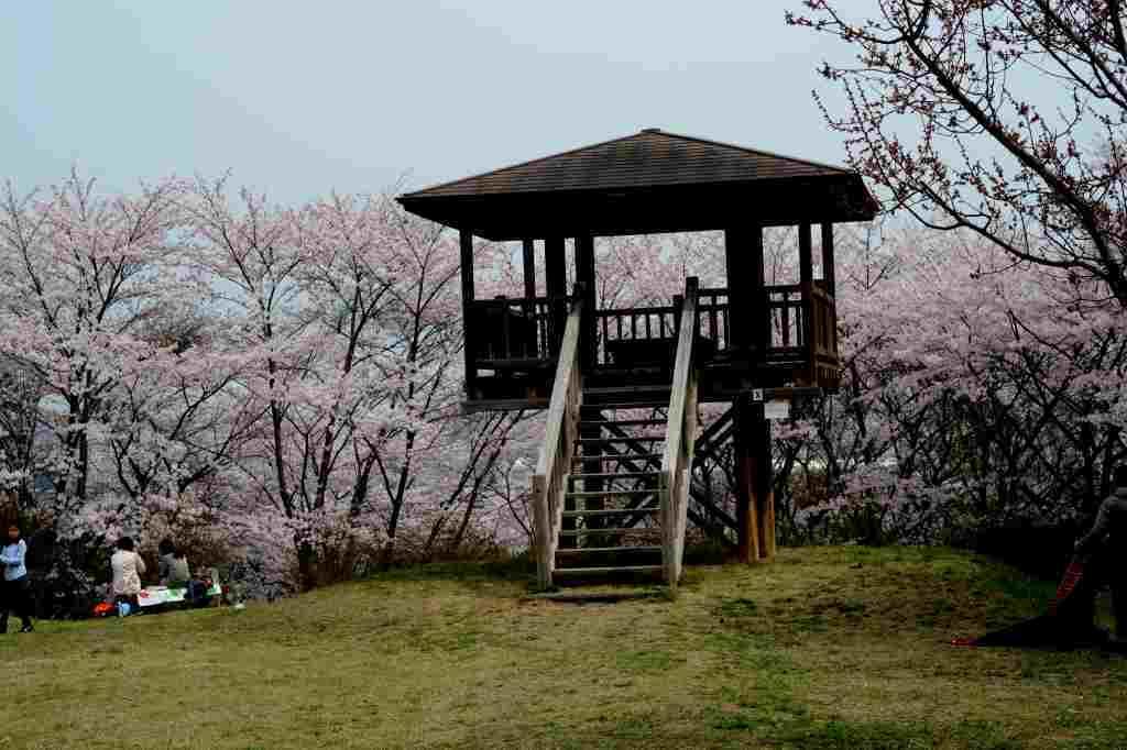 桜とカタクリの花はほぼ同時進行・・・_a0148206_19522486.jpg