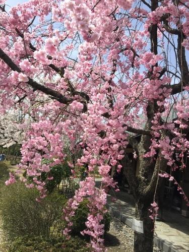 桜満開☆わくハン、無事終了!_a0126418_20290181.jpg