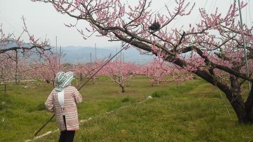 いきなり 桃の花 受粉です_f0325525_21564225.jpg
