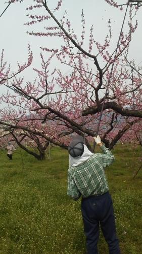 いきなり 桃の花 受粉です_f0325525_21584468.jpg